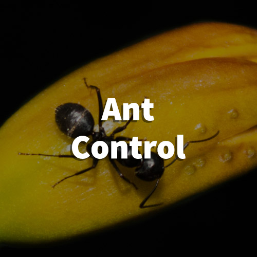 Ant Pest Control in Taylors, South Carolina